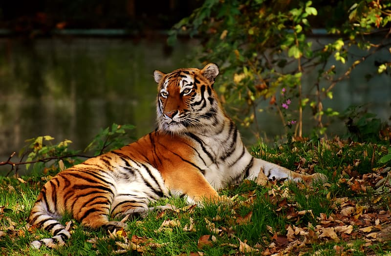 Shallow focus photography of tiger