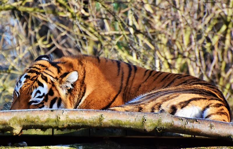 Tiger lying on brown wooden fence during daytime