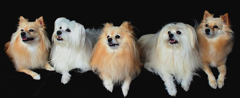 Long-coated two white and three brown dogs