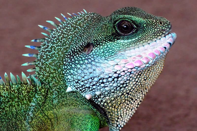Green and white iguana