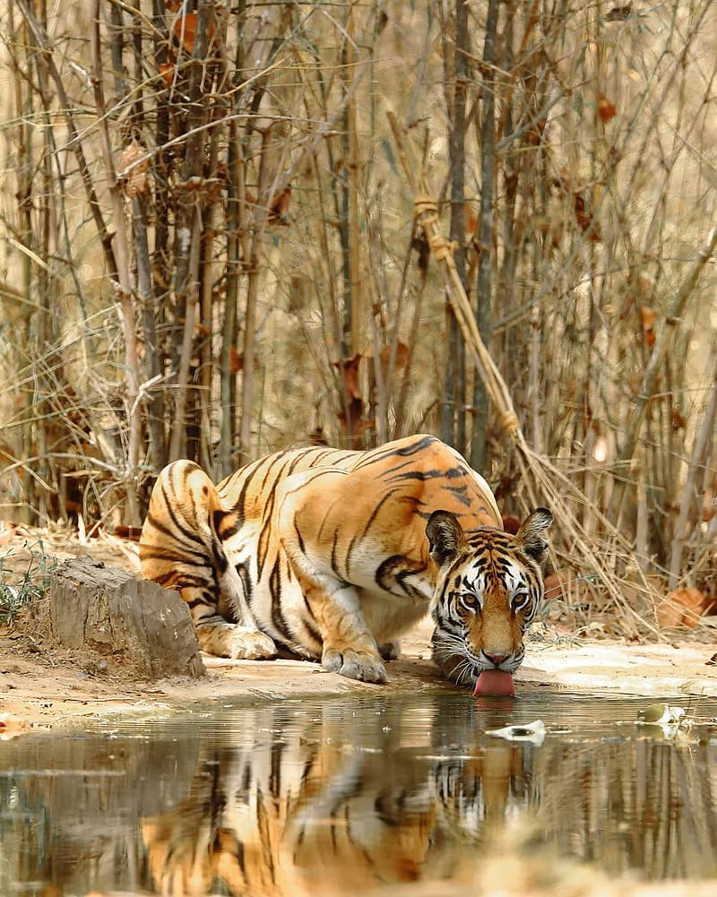 Brown tiger drinking beside body of water during daytime