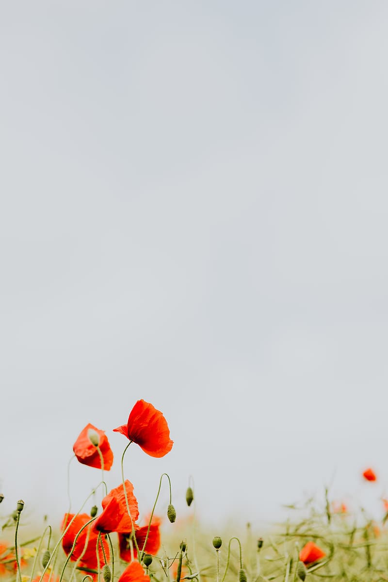 A field of Red Poppies