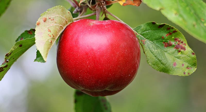 Red apple fruit in closeup photography
