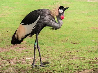 Selective focus photo of gray-crowned crane bird standing on green grass field