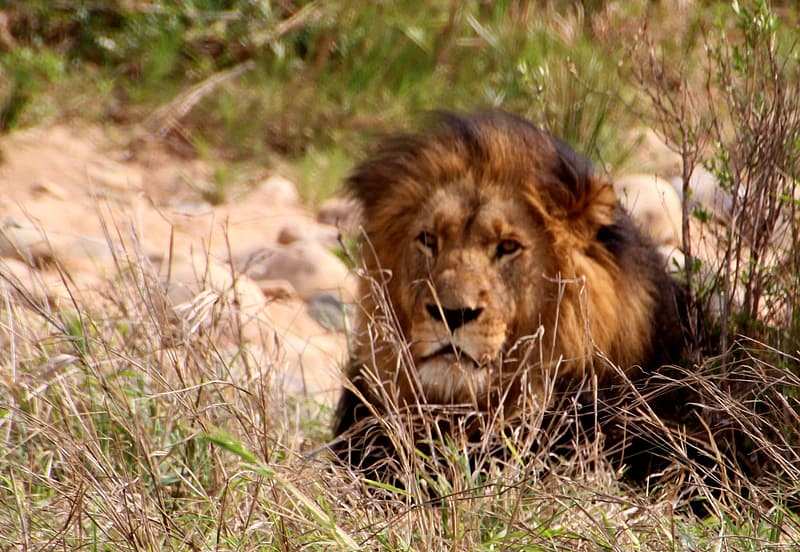 Lion resting in grass