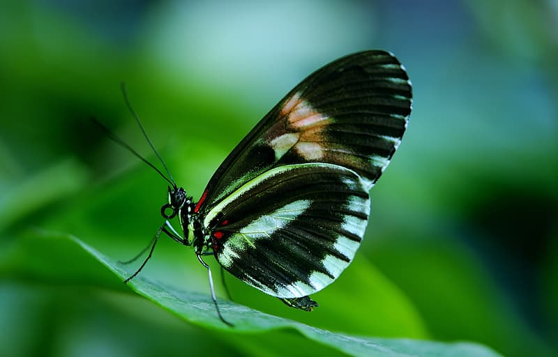 Black and white long-wing butterfly