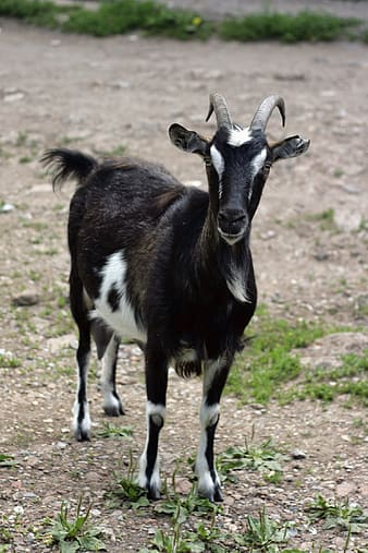 Black and white goat on green grass field during daytime