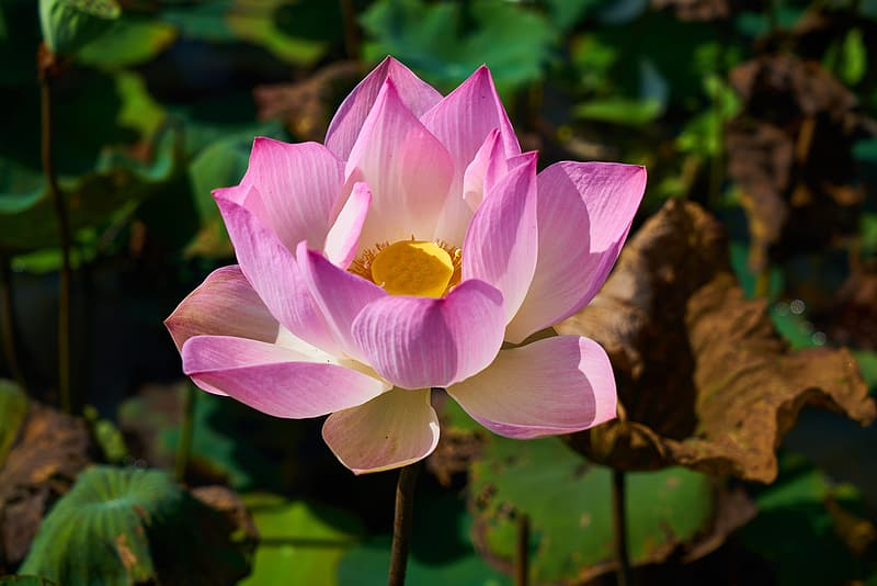 Blooming pink lotus flower in close-up photography