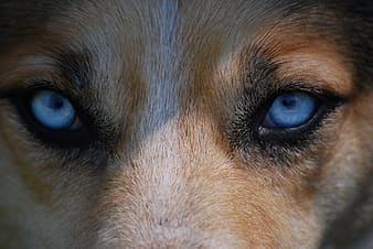 Brown animal with blue eyes