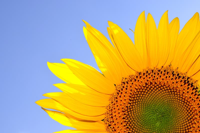 Close-up of a yellow sunflower in bloom