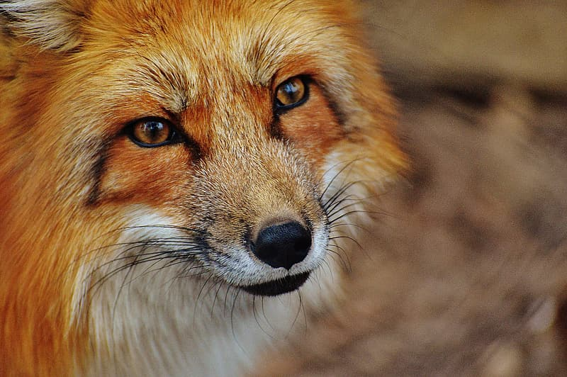 Selective focus photography of red fox