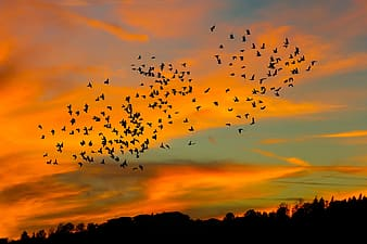 Silhouette of flock of birds flying over the trees during sunset
