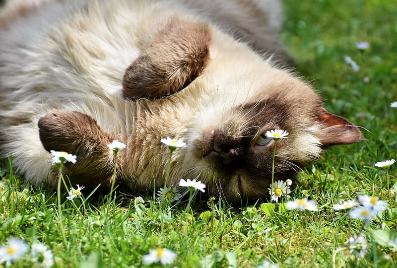 Siamese cat lying on field of grass with daisy