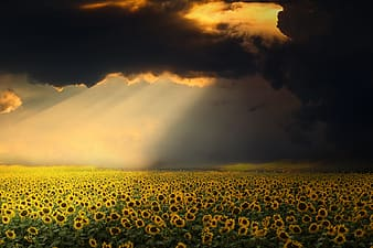 landscape, sunflowers, sky, clouds, light, yellow, nature, beauty in nature, environment, scenics - nature