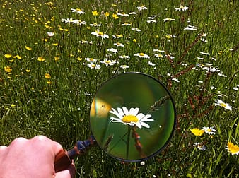 Person using magnifying glass on daisy flower