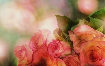 Pink roses closeup photo