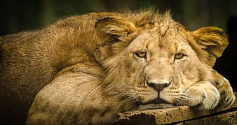 Photo of lioness laying on wooden surface