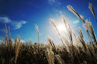 Low angle photo of wheat field under blue sky during daytime