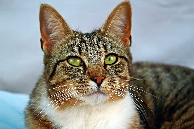 Gray and white tabby cat