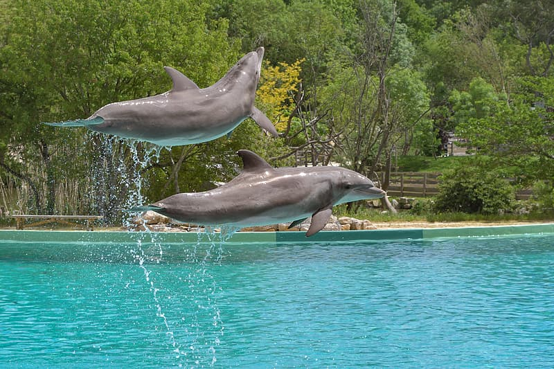Two grey dolphins above blue body of water near green leafed trees