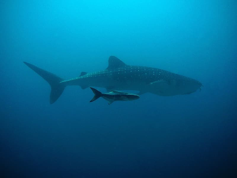 Two grey and black whaleshark