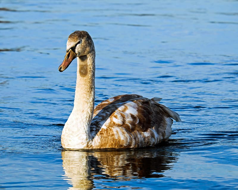 White and brown goose on water