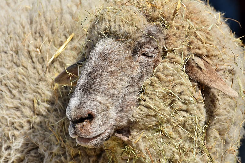 Brown sheep on brown grass field during daytime
