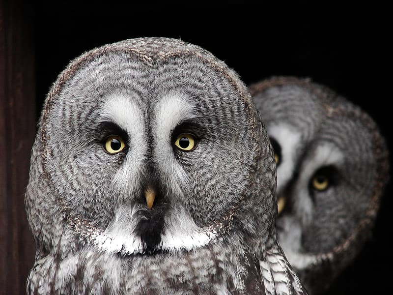 Two gray owls closeup photography