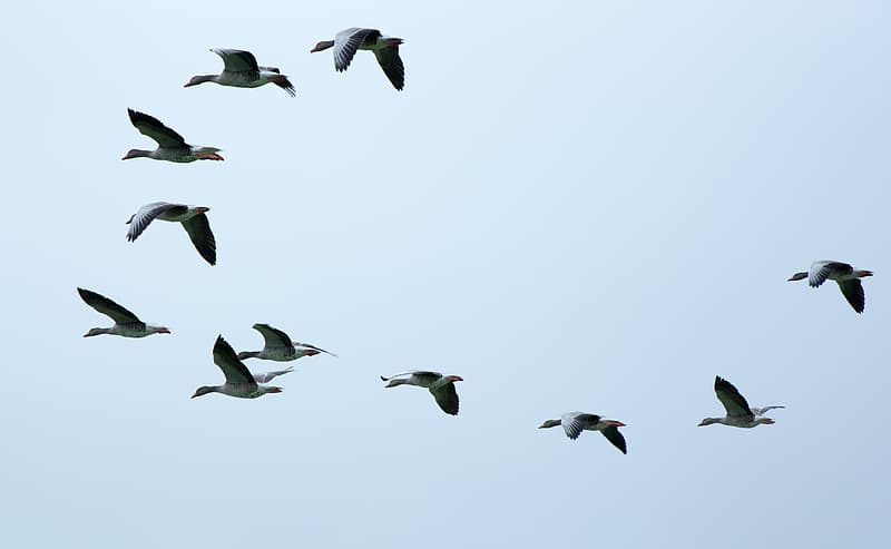 Time lapse photography of flock of birds in flight