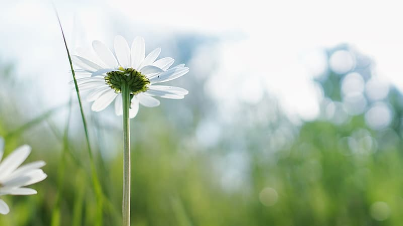 Bokeh photography of a white daisy flower