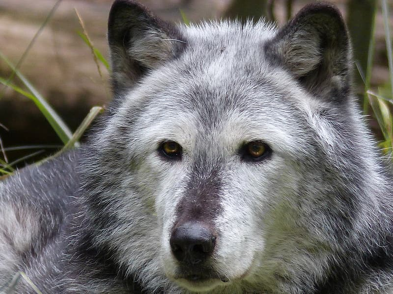 Photography of gray wolf
