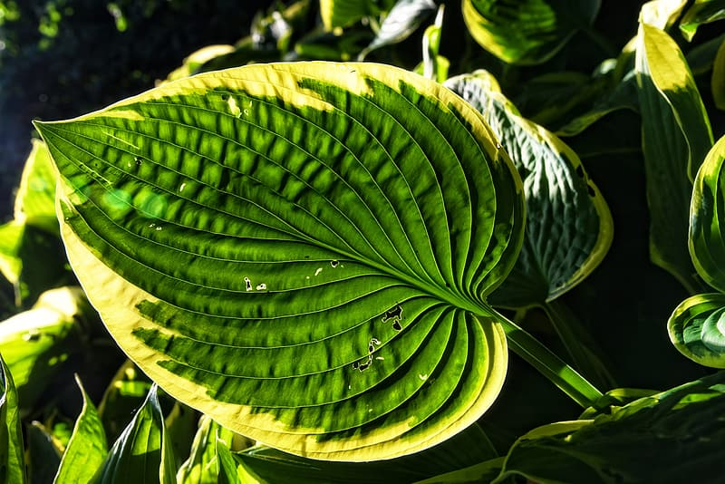 Green ovate leafed plant