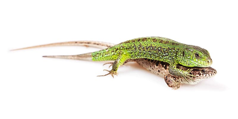 Green and brown lizard on white background
