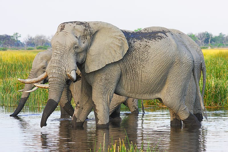 Three gray elephants in body of water near field during daytime