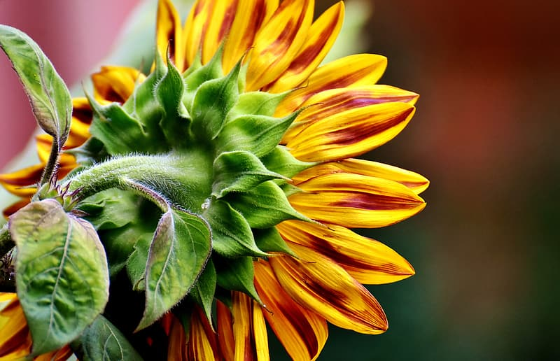Closeup photography of yellow sunflower