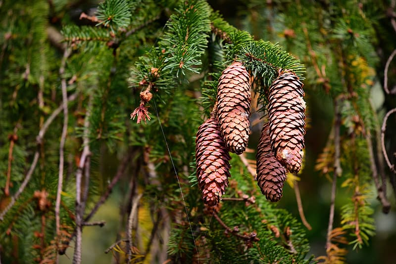 Brown pine cone on green tree