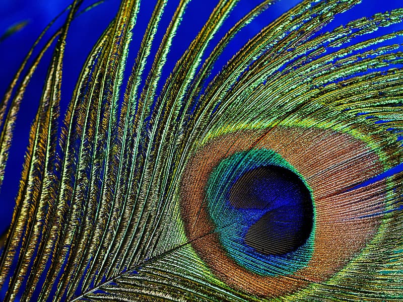 Shallow focus photography of peacock tail