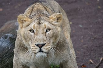 Focus photography of lion