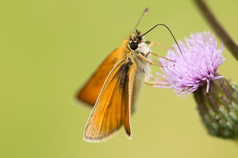 Brown moth perched on purple flower in close up photography during daytime