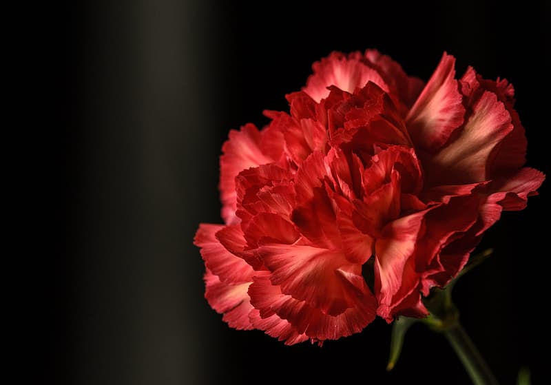 Red carnation flower isolated on black background