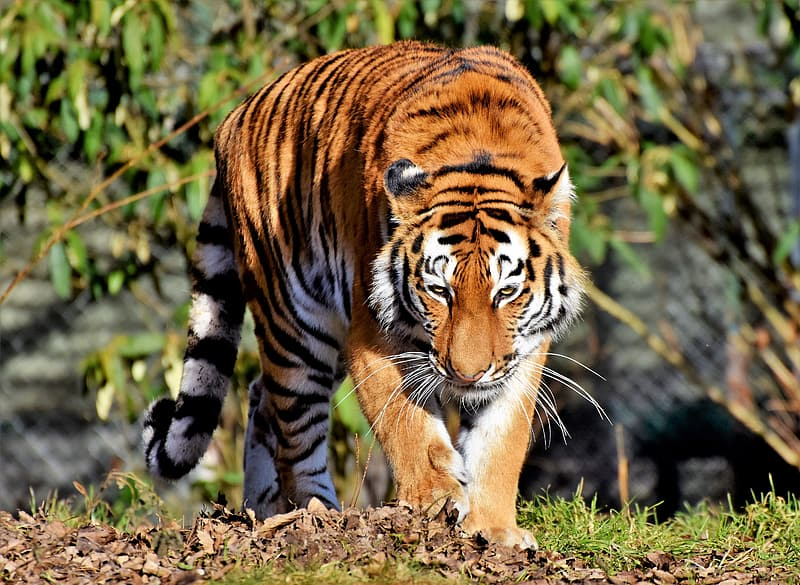 Tiger walking near green plant