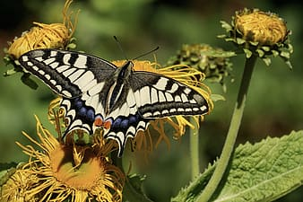 Eastern tiger swallowtail butterfly perching on yellow flower
