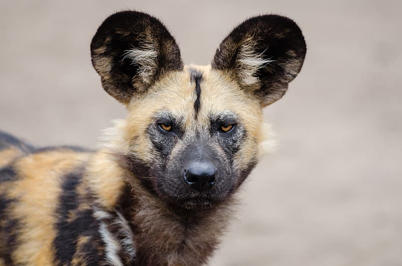 Brown and black African wild dog