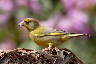 Focus photography of Atlantic canary