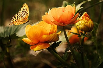 Gulf fritillary butterfly perching on bloom orange flower in close-up photography