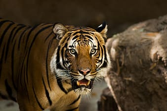 Wildlife photography of Bengal tiger