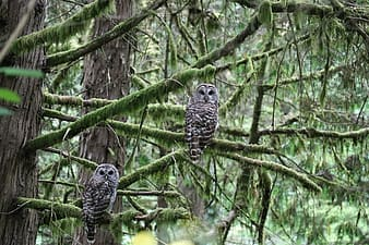 Photo of two grey and brown owls on green tree branch