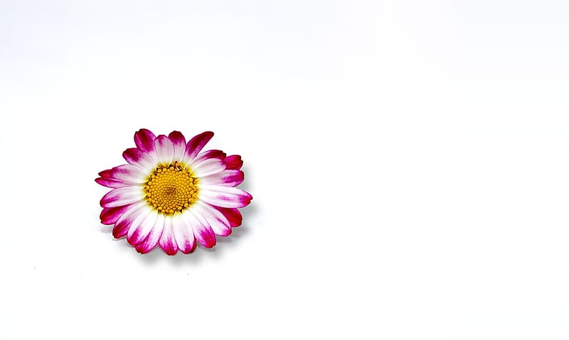White and pink daisy