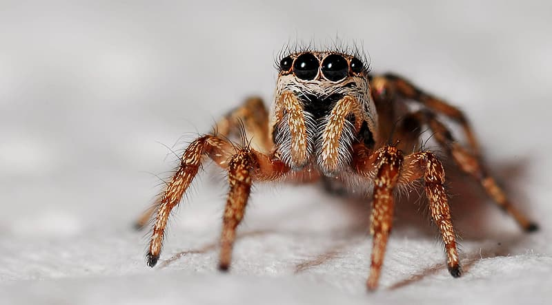 Brown jumping spider macro photography