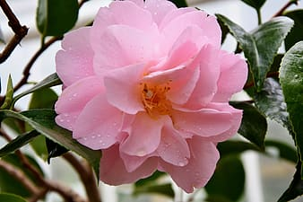 Close-up photo of pink rose in bloom at daytime